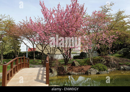 ... Blossoming Cherry Trees And A Traditional Bridge In The Japanese Garden  (Japanischer Garten) In