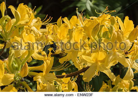 A close-up photograph of the highly scented yellow flower of an Azalea, Rhododendron luteum. - Stock Photo