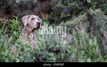 Weimaraner dog in sea of lush green plants out in nature with head sticking out above the growth - Stock Photo