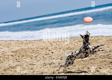 Dalmatian dog running and jumping for frisbee at beach in sand with ocean and blue sky in background on a sunny - Stock Photo