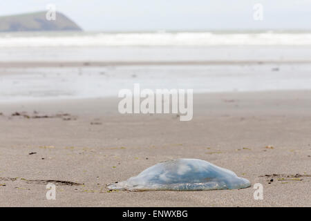 Jellyfish, jelly fish, washed up on Newport Sands Beach at Pembrokeshire Coast National Park, Wales in May - Stock Photo
