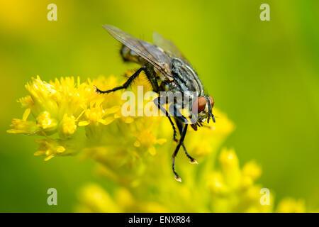 Common Flesh Fly - Stock Photo