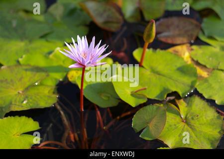 Pink lotus flower blooming in the pool - Stock Photo