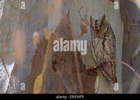 Scops Owl (Otus scops) - Stock Photo