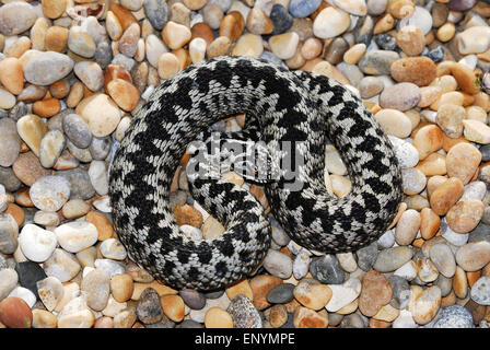 An adder curled up on a pebble beach UK - Stock Photo