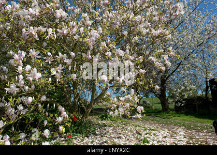 Petals falling on a large flowering Magnolia x soulangeana tree, behind is a flowering wild cherry tree both set - Stock Photo
