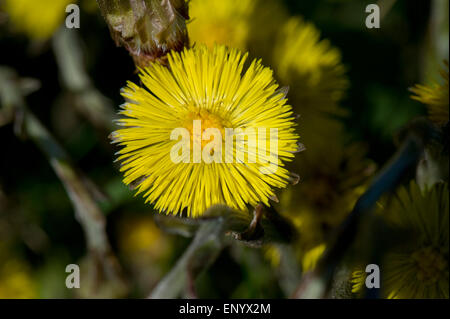 Yellow coltsfoot, Tussilago farfara, flower in early spring - Stock Photo