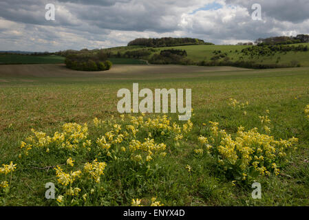 A crop of spring barley on a fine early spring day with with flowering cowslips in the foreground and dowland behind, - Stock Photo