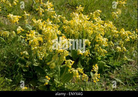 Cowslip group  in flower in early springtime, berkshire, April - Stock Photo