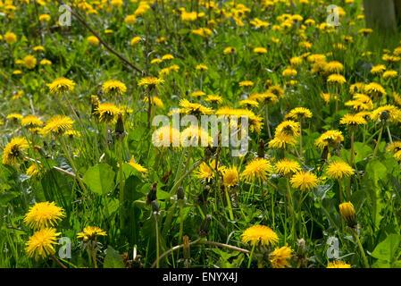 Yellow flowering dandelions, Taraxacum officinale, inb spring, Berksahire, April - Stock Photo