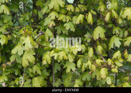 Young leaves of a hedge of field maple, Acer campestre, in spring, Berkshire, April - Stock Photo