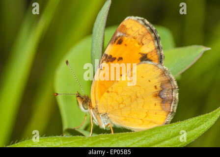 Pearl crescent butterfly, Phyciodes tharos, perched on a leaf in the Riverlot 56 Natural Area, near St Albert, Alberta - Stock Photo