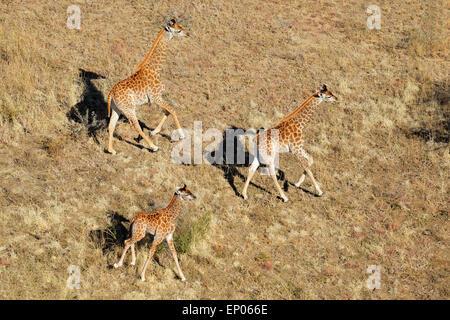 Aerial view of running giraffes (Giraffa camelopardalis), South Africa - Stock Photo