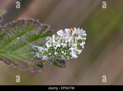 Orange-tip butterfly (male) at rest on leaf.  Heyshott Escarpment, Sussex, England. - Stock Photo