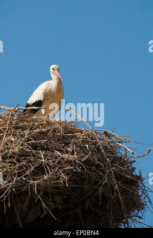 A White Stork (Ciconia ciconia) perched on top of its nest in Selcuk, Turkey - Stock Photo