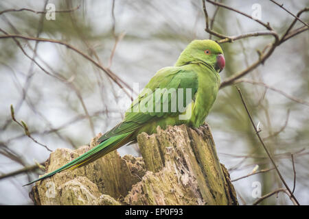 Rose-ringed parakeet (Psittacula krameri), also known as the ring-necked parakeet in a cold environment - Stock Photo