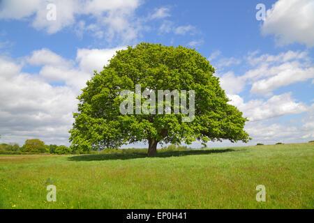 Oak Tree in spring, England, Britain, GB, UK - Stock Photo