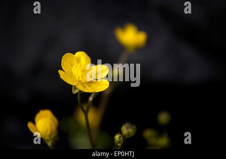 Small yellow flower (Oenothera perennis) - Stock Photo