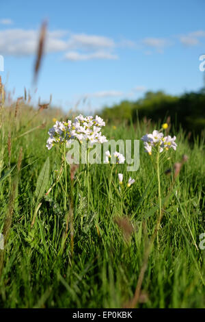 Cardamine pratensis wild white meadow flower commonly known as Cuckoo Flower or Lady's Smock in Herefordshire UK - Stock Photo
