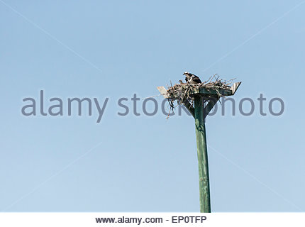 An osprey and chick in a nest on a man-made platform on Tarpon Bay at Sanibel Island, Florida - Stock Photo