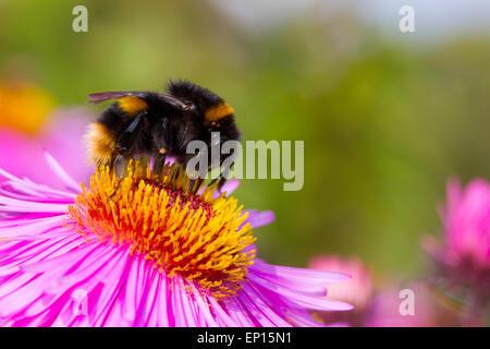 Buff-tailed Bumblebee (Bombus terrestris) new queen feeding on Michealmas Daisy (Aster sp.) flowers in garden, Powys, - Stock Photo