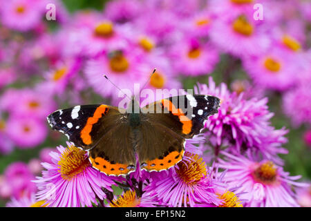 Red Admiral Butterfly (Vanessa atalanta) adult feeding on Michealmas Daisy (Aster sp.) flowers in garden, Powys, - Stock Photo