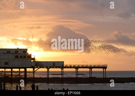 Common Starling (Sturnus vulgaris) roosting flock in flight over pier at sunset.  Aberystwyth, Ceredigion, Wales. - Stock Photo