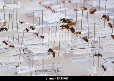 Negro Ant (Formica fusca) and Red Wood Ant (F. rufa) specimens in a reference collection of British ants. Powys, Wales. Stock Photo