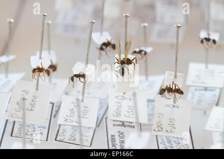 Negro Ant (Formica fusca) specimens in a reference collection of British ants. Powys, Wales. Stock Photo