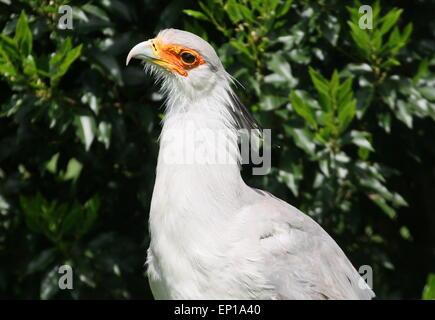 African Secretary bird (Sagittarius serpentarius) portrait - Stock Photo