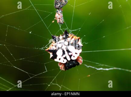 Four spined jewel spider (Gasteracantha quadrispinosa), Queensland, Australia - Stock Photo