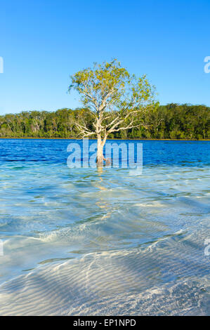 Lone Tree in Lake McKenzie, Fraser Island, Queensland, QLD, Australia - Stock Photo
