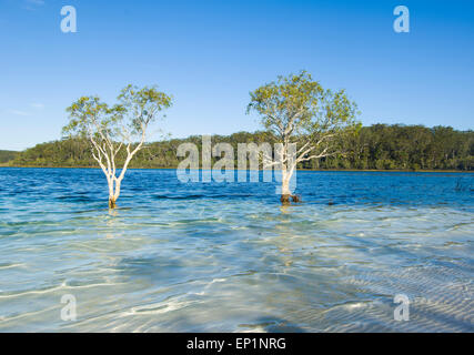 Trees growing in Lake McKenzie, Fraser Island, Queensland, QLD, Australia - Stock Photo