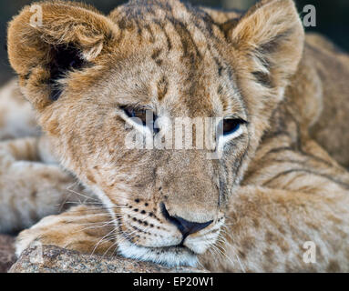 Portrait of a Lion cub, South Africa - Stock Photo