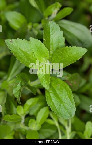 sweet leaf of paraguay stevia rebaudiana flowering. Black Bedroom Furniture Sets. Home Design Ideas