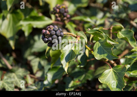 english ivy common ivy hedera helix 39 arborescens 39 hedera helix stock photo 76127828 alamy. Black Bedroom Furniture Sets. Home Design Ideas