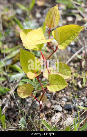 Fallopia japonica, commonly known as Japanese knotweed, is a large, herbaceous perennial plant of the family Polygonaceae. - Stock Photo