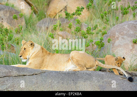 African Lion (Panthera leo) mother and cub, lying and playing on a rock in early morning light, cub grabbing tail, - Stock Photo