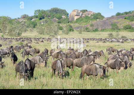 Wildebeest (Connochaetes taurinus) and Zebra (Equus quagga) herds during the migration, grazing in front of a koppie, - Stock Photo