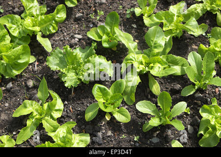 Lettuce lettuces plants growing in a garden allotment in UK May 2015 - Stock Photo