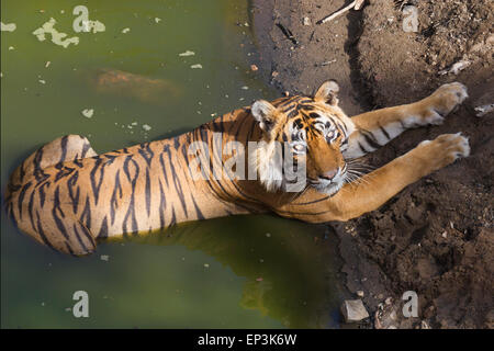 Royal Bengal Tiger or Panthera tigris tigris relaxing on a water body at Rahthambhore National Park Rajasthan India - Stock Photo
