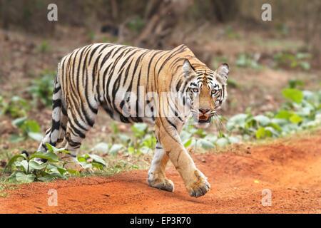 Royal Bengal Tiger or Panthera Tigris or Indian Tiger crossing road at Tadoba National Park, Maharashtra, India - Stock Photo