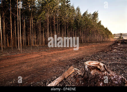 A tree stump next to  a dirt road alongside a tree farm in Swaziland, Africa. Trees farming is one of Swaziland's - Stock Photo