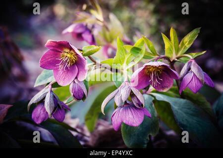 purple hellebore flower - Stock Photo