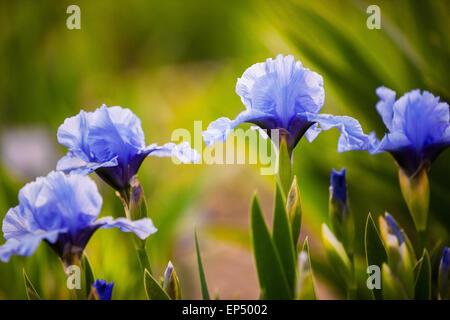 blue iris flowers growing in garden - Stock Photo