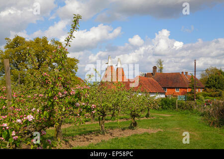 Oast Houses and Apple Blossom Kent, UK, England, Britain, GB - Stock Photo