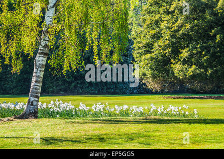 White daffodils beneath a weeping silver birch tree in the parkland on the  Bowood Estate in Wiltshire. - Stock Photo