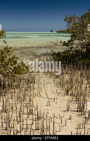 Egypt, Sinai, Sharm el Sheikh, Nabq National Park, Mangrove, Avicennia marina, in shallows - Stock Photo
