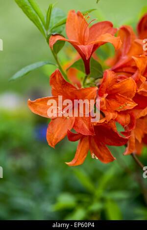Azalee, Rhododendron, Austria, Lower Austria, Southern Lower Austria, Eggendorf - Stock Photo