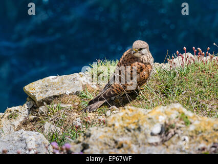 Kestrel (Falco tinnunculus) perched on Sea Cliffs at Durlston Country Park, Dorset, England, UK - Stock Photo